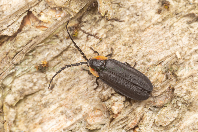 A Black Firefly (Lucidota atra) crawls on the side of a tree.