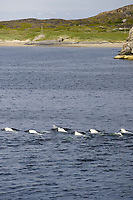Beluga whales Delphinapterus leucas surfacing near land Jakobselv Barents sea North East Atlantic