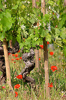 syrah old vine vineyard poppies dom a voge cornas rhone france