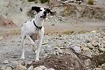 Domestic Dog (Canis familiaris), Abra Granada, Andes, northwestern Argentina