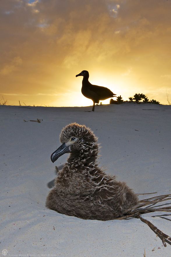 Black-footed Albatross chick waits on his nest at sunset for a parent to return with a meal. Midway Atoll
