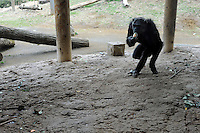 A chimpanzee returns to bring the empty can to the re-cycle bin. Chimpanzees in Tama Zoo in the western suberbs of Tokyo buy soft drinks from a vening machine. The zoo, which is seen as one of Japan's most inovative, has installed a vending machine. The Chimps are given a ten yen yen coind which they insert into a vending machine and are given a can of fruit or vegetable juice.  Teh chimps then put the embty can into the waste machine for recycling.