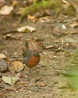 Rufous-breasted antthrush, Formicarius rufipectus carrikeri. Refugio Paz de las Aves, Ecuador