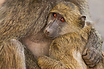 Chacma Baboon (Papio ursinus) mother holding young, Kruger National Park, South Africa