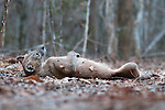 Adult female Fosa (Crytoprocta ferox) (sometimes incorrectly Fossa) rolling on deciduous forest floor to leave scent and advertise reproductive availability. Kirindy Forest, western Madagascar.