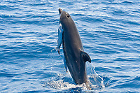 Common Bottlenose Dolphin, Tursiops truncatus, breaching with two large Remora's attached, Costa Rica, Pacific Ocean