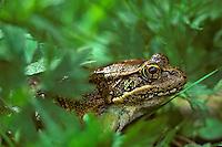 Northern Red-legged Frog (Rana aurora), Pacific Northwest.