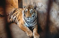 China. Province of Heilongjiang. Harbin. Siberia Tiger Park. A tiger lies on the concrete ground in its cell cage. © 2004 Didier Ruef