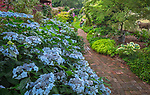 "Vashon Island, Washington: Summer perennial shade garden with 'Blue Deckle"" hyddrangea blooming near brick pathway"