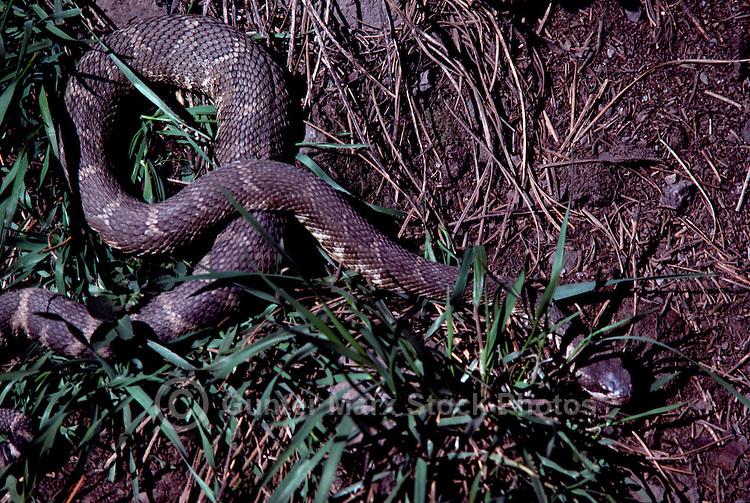 Rattlesnake (Crotalinae) slithering in Grass, South Okanagan Valley, BC, British Columbia, Canada