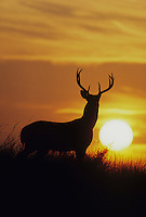 White-tailed Deer (Odocoileus virginianus), buck at sunset, Starr County, Rio Grande Valley, Texas, USA