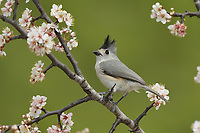 Black-crested Titmouse (Baeolophus atricristatus), adult perched on blooming Mexican Plum  (Prunus mexicana) , Hill Country, Central Texas, USA