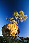 Gum or eucalyptus, Devils Marbles, Alice Springs region, Australia
