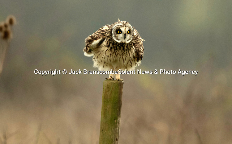 """Pictured:  The owl lfluffing itself up.<br /> <br /> An owl seems to channel the spirit of Marilyn Monroe as it fluffs up its feathers and looks like its wearing a dress.  The short-eared owl was snapped by a keen amateur photographer as it ruffled its feathers.<br /> <br /> Jack Branscombe, 27, said he had been 'desperate' to photograph this species of owl for months and finally got his wish on a gloomy day at an unnamed spot in Essex.  He said: """"I was over the moon to see my first short-eared owl and to get to photograph such a relaxed one was amazing.  SEE OUR COPY FOR DETAILS.<br /> <br /> Please byline: Jack Branscombe/Solent News<br /> <br /> © Jack Branscombe/Solent News & Photo Agency<br /> UK +44 (0) 2380 458800"""