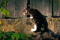 Domestic short hair kitten climbing a stone wall.
