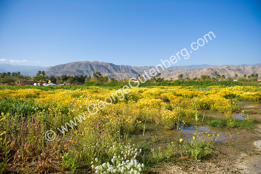 Desert wild flower field