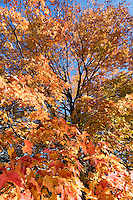 maple Arnold Arboretum, autumn, Boston, MA fall