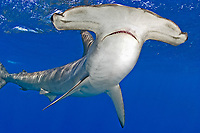 Smooth hammerhead shark, Sphyrna zygaena, Cape Point South Africa, southern Africa
