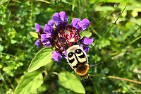 BNPS.co.uk (01202 558833)<br /> Pic: MollyMartin/BNPS<br /> <br /> Is it a bee or is it a beetle?<br /> <br /> This is the moment a stunning bee beetle alights upon a lilac flower in the Scottish highlands.<br /> <br /> Bee beetles have striking black and yellow stripes which resemble a bumble bee and can only be found in the remotest corners of the UK.<br /> <br /> This one was captured by Molly Martin, 25, while walking in Glen Affric near her home in Inverness.<br /> <br /> A keen naturist with a love for photography, Molly was stunned by the sight of the rare beetle, which are usually only spotted between May and July.<br /> <br /> She managed to take several shots of the creature, which was around the size of a 10 pence piece, as it fed on a flower from a selfheal plant.