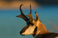 Pronghorn (Antilocapra americana) buck, Western U.S., fall.