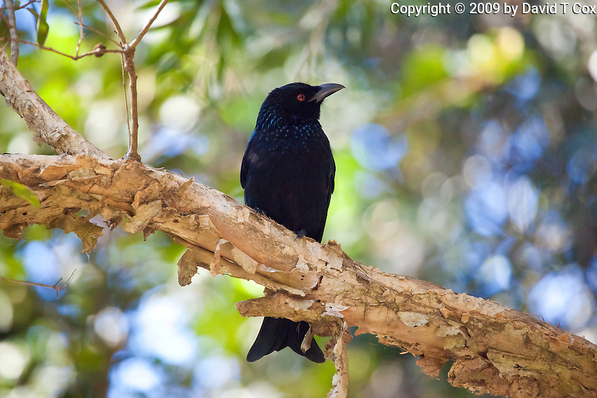 Spangled Drongo, Kooloobung Crk Park, Port Macquarie, NSW, Australia
