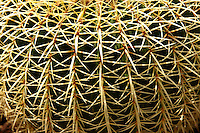 Close up of spines of a cactus, Ios, Cyclades Islands Greece