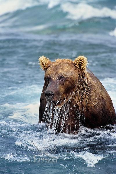 Grizzly Bear fishing.  Alaska.