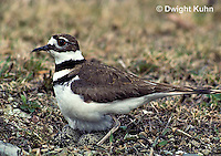 1K04-003z  Killdeer - adult sitting on eggs - Charadrius vociferus