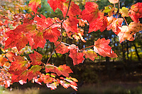 Autumn Leaves, Delaware Water Gap, New Jersey