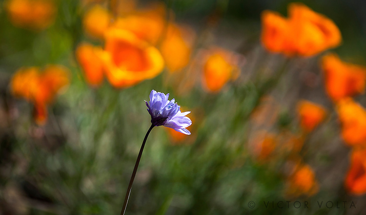 Blue Dick & California Poppies - Mt. Diablo State Park