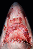 The ragged jaw of a dead Porbeagle Shark, Lamna nasus. This specimen became wrapped up in a fishing net in the Bay of Fundy, Canada.