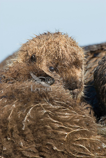 Sea Otter (Enhydra lutris) pup resting next to mom.