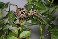 This Wolf Spider had survived a recent attack, with two legs gone, and an eye that's out of commission..