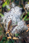 Butterfly Weed releasing their seeds in late fall, The Old Manse gardens, Concord, Massachusetts