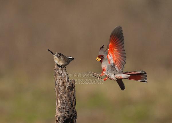 Pyrrhuloxia (Cardinalis sinuatus), male and Black-throated Sparrow (Amphispiza bilineata) perched, Starr County, Rio Grande Valley, South Texas, USA