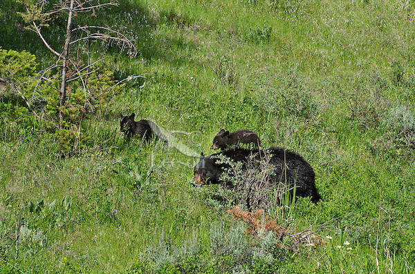 """Wild Black Bear (Ursus americanus) mother with cubs walking through woodland meadow.  Western U.S., spring. (These are what are known as """"coys""""--cubs of the year.)"""