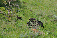 "Wild Black Bear (Ursus americanus) mother with cubs walking through woodland meadow.  Western U.S., spring. (These are what are known as ""coys""--cubs of the year.)"