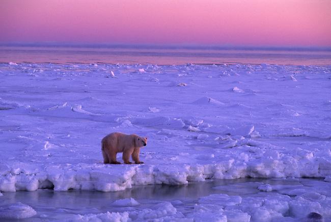 CANADA, MANITOBA, NEAR CHURCHILL, HUDSON BAY, POLAR BEAR ON ICE, AT SUNRISE