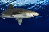 Oceanic whitetip shark, Carcharhinus longimanus, off the Big Island in open Ocean Hawaii.