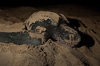 Endangered Leatherback Turtle.nesting at Sandy Point Wildlife  Refuge.St Croix, U.S. Virgin Islands.