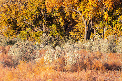 Cottonwoods and Ground Cover, Autumn, Abiquiu, New Mexico