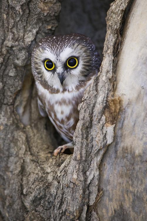 Northern Saw-whet Owl (aegolius acadicus) peering out of a tree cavity near Denver, Colorado, USA