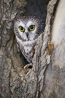 Northern Saw-whet Owl (aegolius acadicus) peering out of a tree cavity near Denver, Colorado, USA