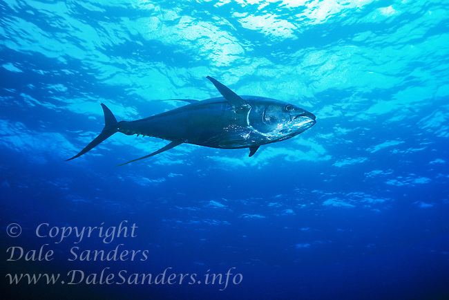 Large Yellowfin Tuna ( Thunnus albacares ) swims underwater in the Pacific Ocean off Cocos Island, Costa Rica.