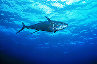 Large Yellowfin Tuna ( Thunnus albacares ) swims underwater in the Pacific Ocean off Cocos Island, Costa Rica.