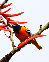 Northern oriole eating coral bean on winter vacation