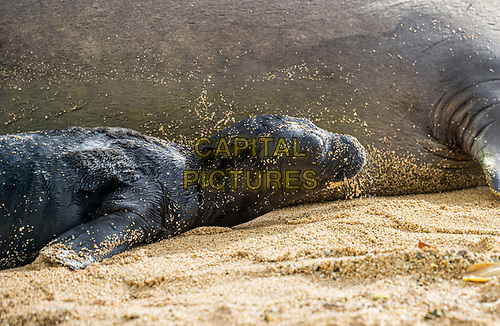 HONOLULU, HI - April 26, 2021: Hawaiian Monk Seal, Kaiwi, gives birth on a beach in Waikiki in Honolulu, HI on April, 26, 2021. Hawaiian Monk Seals are an endnagered protected species and the beach area has been closed off to visitors. <br /> CAP/MPI/EKP<br /> ©EKP/MPI/Capital Pictures