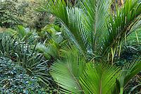 Le Domaine du Rayol:<br /> le jardin de Nouvelle-Zélande avec poussant au bord du ruisseau, Ropalostylis sapida, palmier le plus austral.