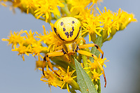 A female Whitebanded Crab Spider (Misumenoides formosipes) waits for prey among Goldenrod flowers.