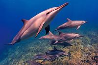 Hawaiian spinner dolphin, or Gray's spinner dolphin, Stenella longirostris longirostris, a subspecies of spinner dolphin, or long-snouted spinner dolphin, Stenella longirostris, pod, swimming over coral reef, Keauhou, Kona Coast, Big Island, Hawaii, USA, Pacific Ocean